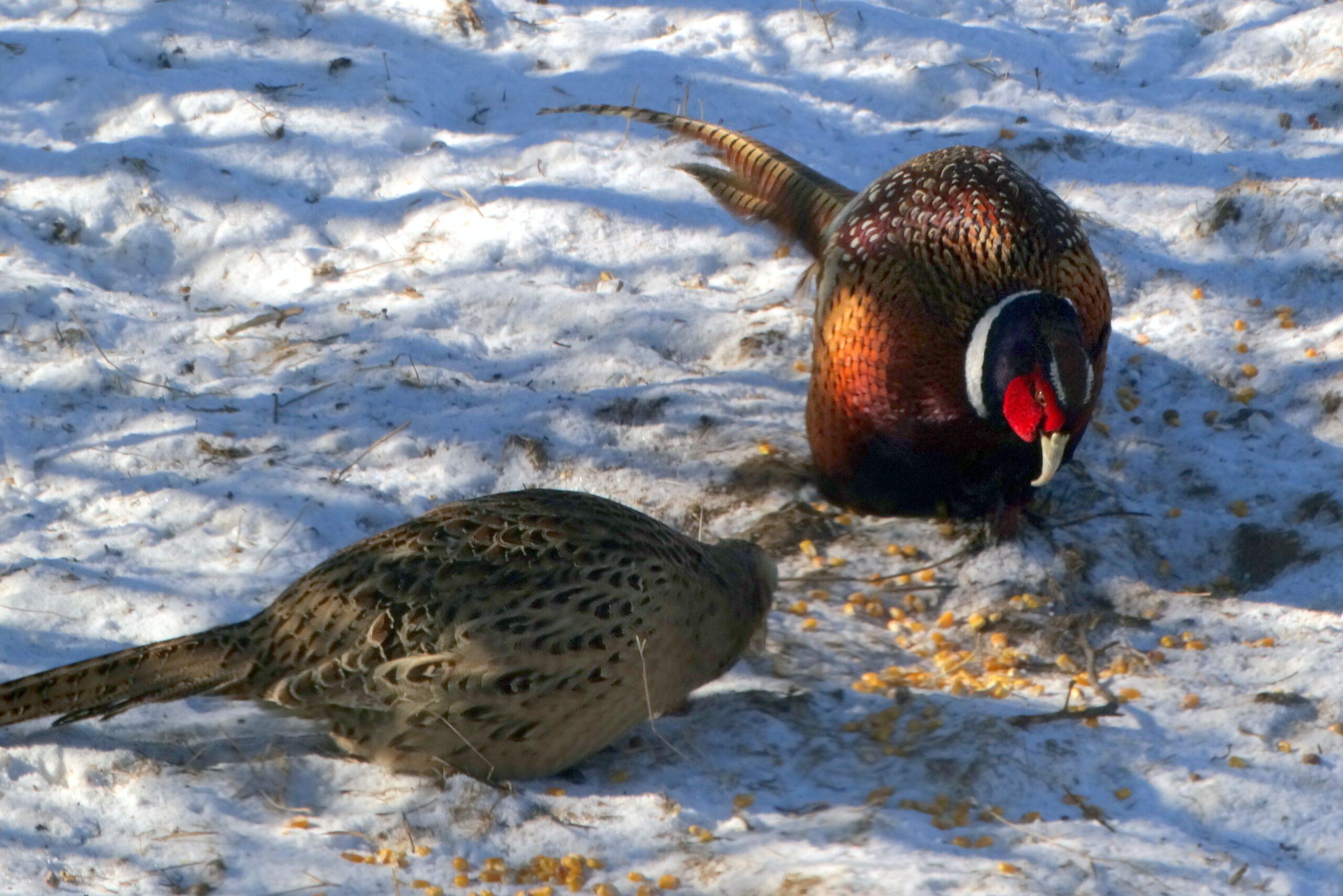 Pheasant hunting endless mountains