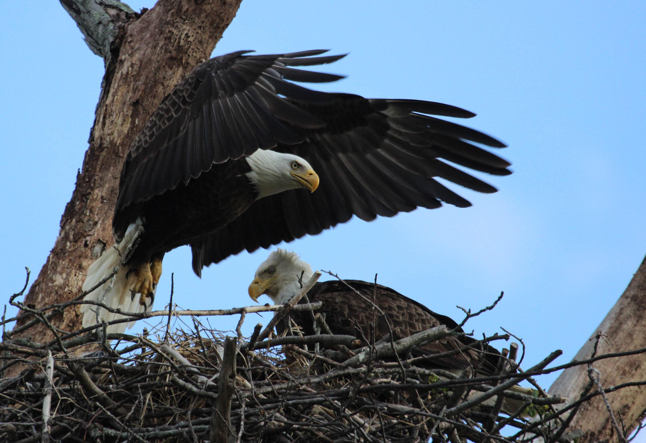 bald eagles endless mountains